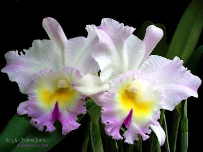 Orquídea Bc. Pastoral 'Innocence'