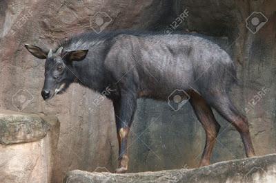 Capricornis milnedwardsii