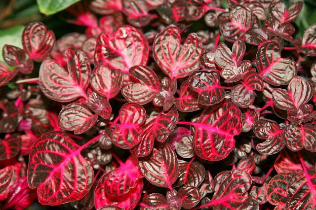 Suas folhas arredondas são roxas com nervuras vermelhas e rosadas, ou verdes com nervuras de coloração creme . As ramagens  acompanham a coloração das folhas, e são bastante ramificada e ereta. As flores pequenas e claras são formadas em inflorescências no verão.