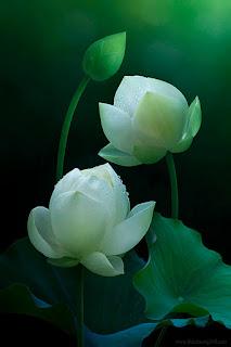 Rác và Hoa: cách nuôi dưỡng và chăm sóc hoa sen bền lâu