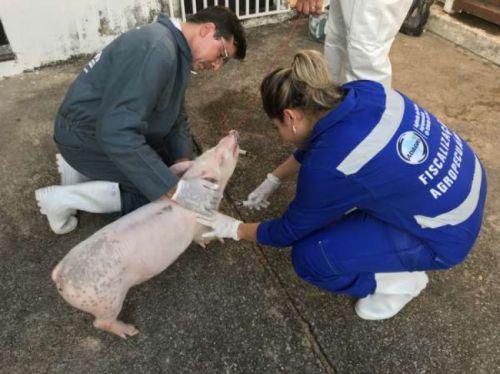 Peste suína atinge 10 municípios; mais de 500 animais abatidos