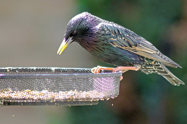 filling the frame photography composition with a Starling on a bird feeder in my garden