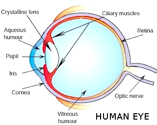 Cbse papers questions answers mcq cbse class 10 class 8 the transparent spherical membrane covering the front of the eye ccuart Choice Image