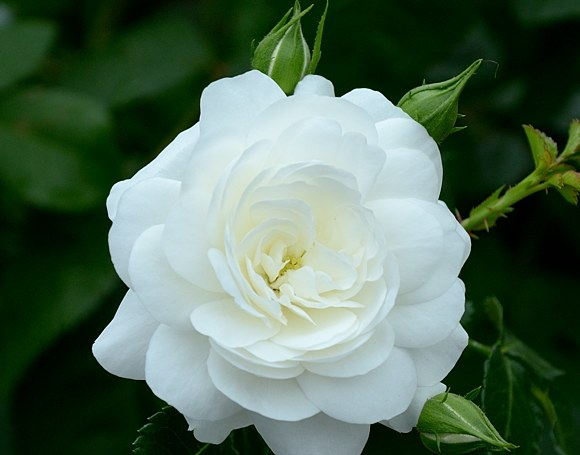 Kastelruther Spatzen сорт розы тантау фото купить саженцы Минск