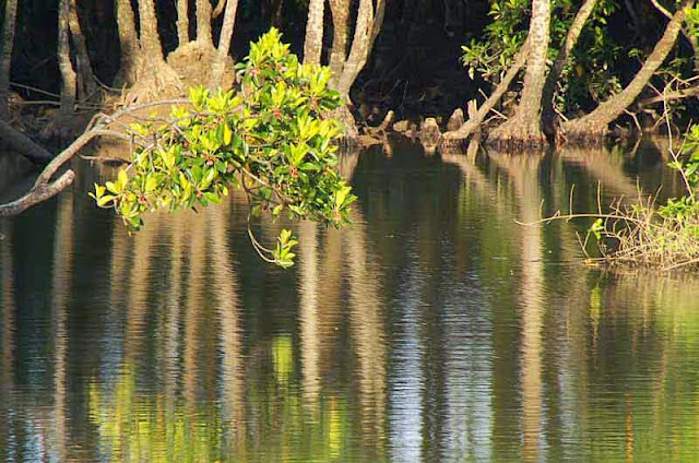 mangrove trees, reflection,river