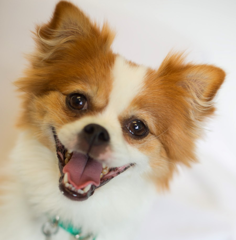 pug and pomeranian mix puppies shelter dogs of portland quot thumbelina quot spunky pomeranian 3283