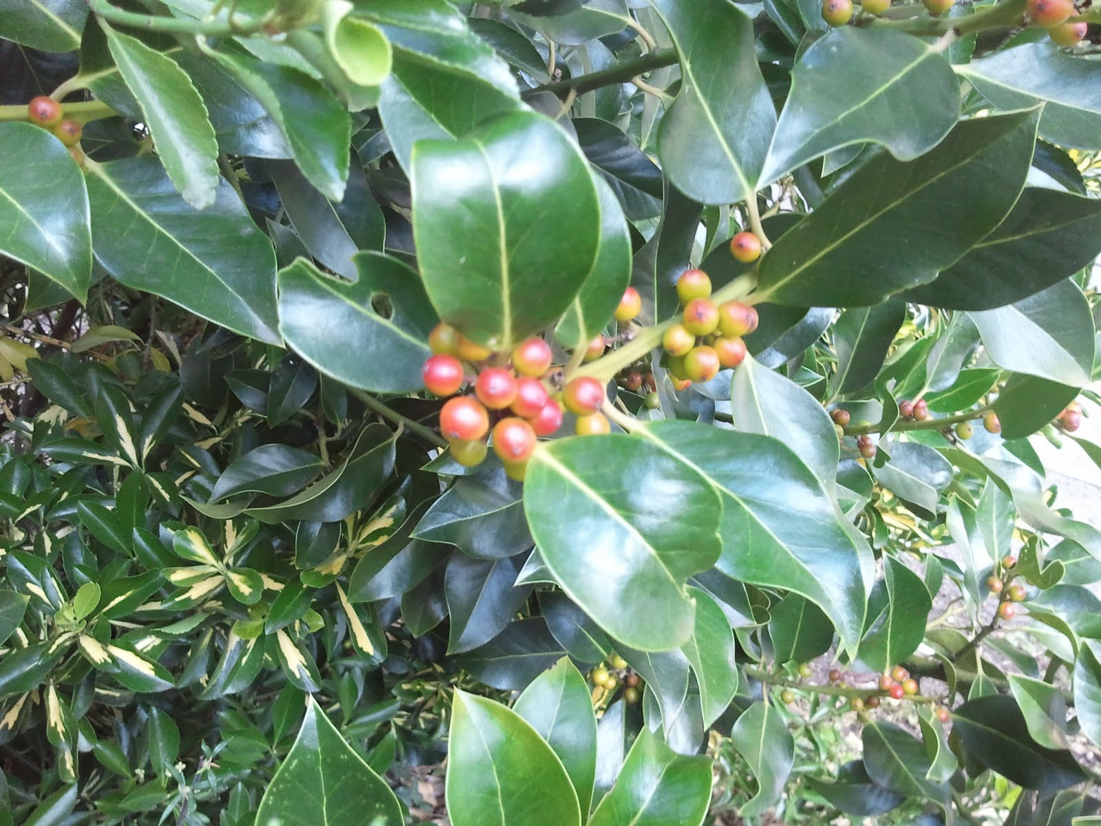 how to grow english holly