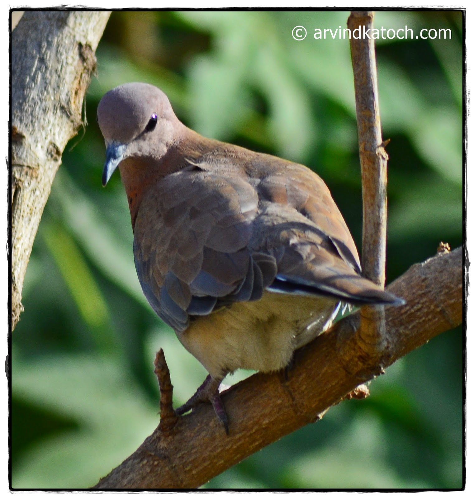 Laughing Dove, Back,