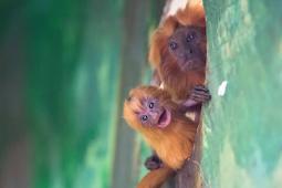 Monyet Brasil Paling Langka Ini Lahir di Kebun Binatang Yerusalem