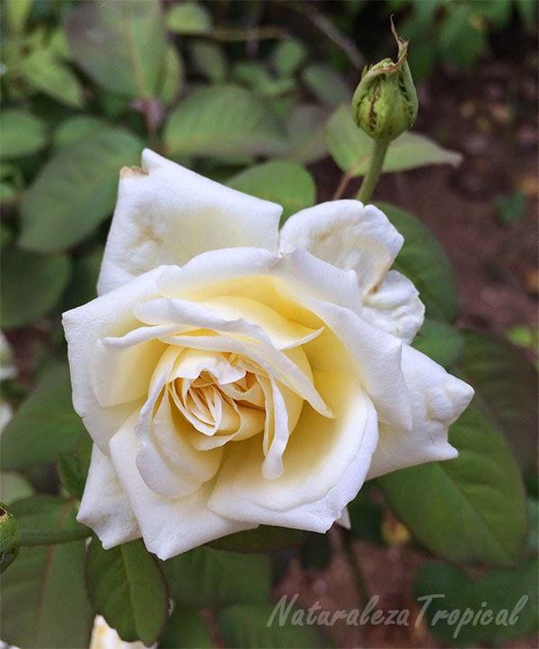 Rosa blanca, símbolo de inocencia