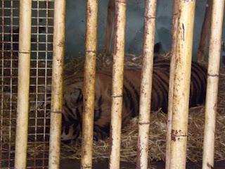 A tiger sleeping