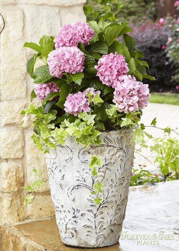 Cuidado De Las Hortensias En Maceta Best Cmo Cultivar Rosas En - Hortensias-cuidados-maceta
