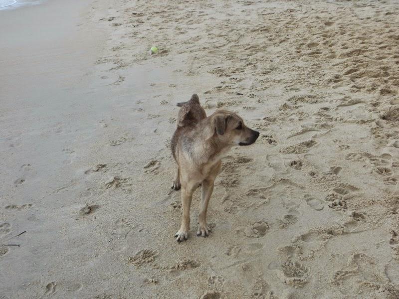 Собака Самуи