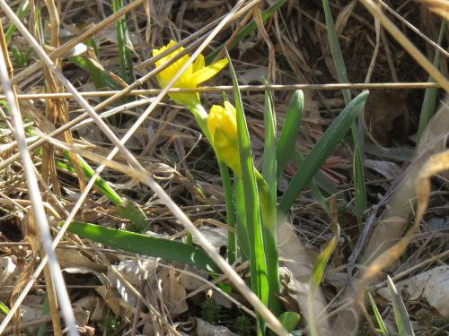 miniature daffodill