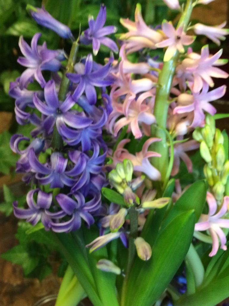 My Secret Hoodoo Hyacinth