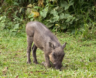 African wild pig are omnivorous eating both plants and meat.