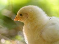 Panduan Ternak Ayam Kapas Untuk Pemula