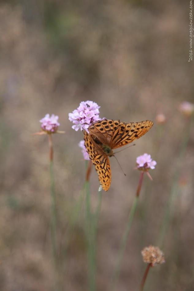 Tabac d'Espagne (Argynnis paphia), en Forêt de Fontainebleau (C) 2016 Greg Clouzeau