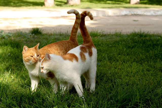 Where do cats prefer to be stroked? In places where the scent glands are. These two sweet cats rub together and intertwine their tails