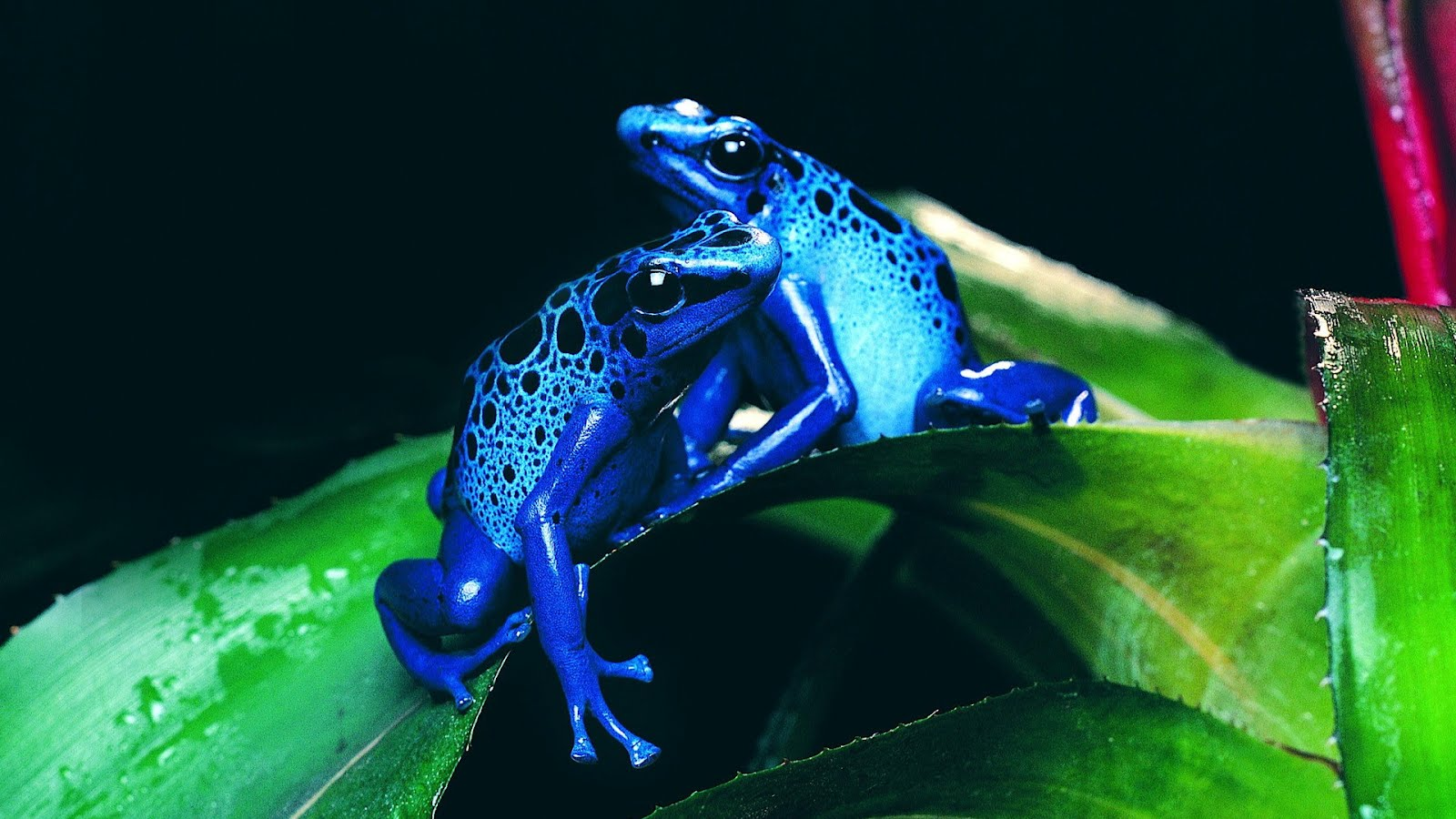 Banco de im genes gratis ranas azules venenosas en las - All animals hd wallpapers ...
