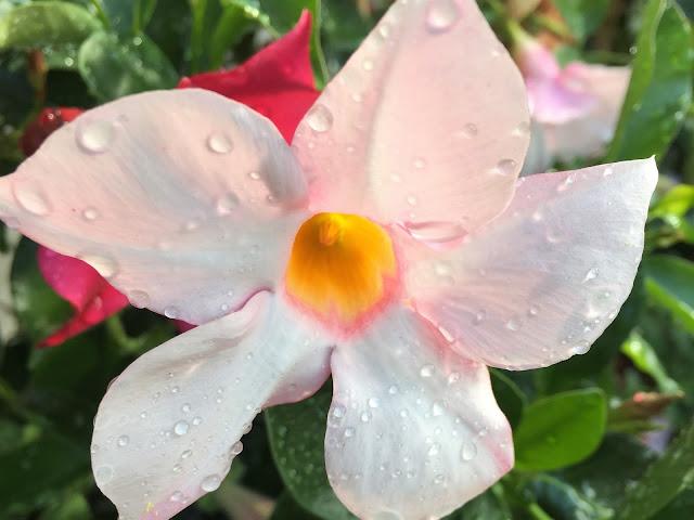 weiss blühende Pflanze im Vorgarten
