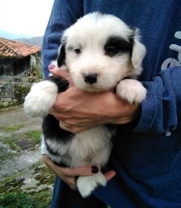 cachorro mestizo border collie