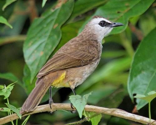 9000 Gambar Burung Trucukan Hd Paling Baru Gambar Id