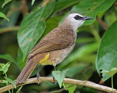 Burung Trucukan