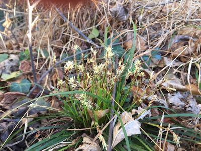 Carex caryophyllea.