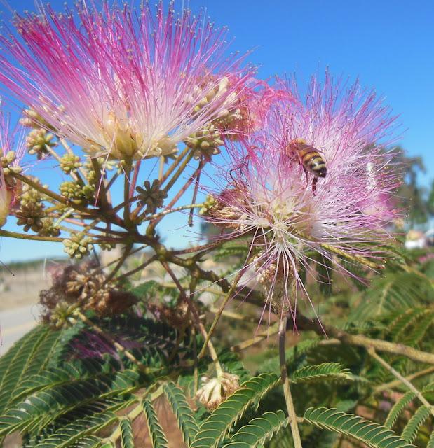 Bee in a Silk Tree