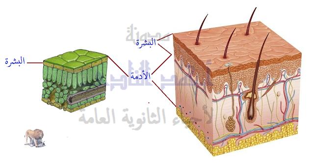 آليات المناعة التركيبية ( خط الدفاع الأول ) - تراكيب موجودة سلفاً فى النبات - الأدمة الخارجية