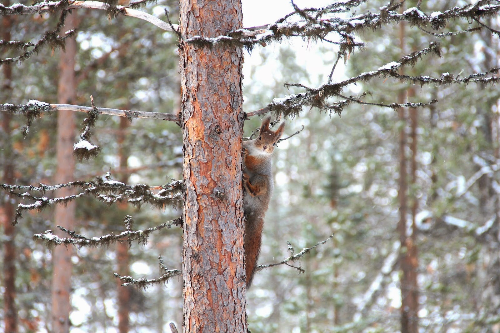 Squirrel on a Tree, Finland