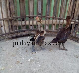 Ayam Pelung Usia 1 Bulan