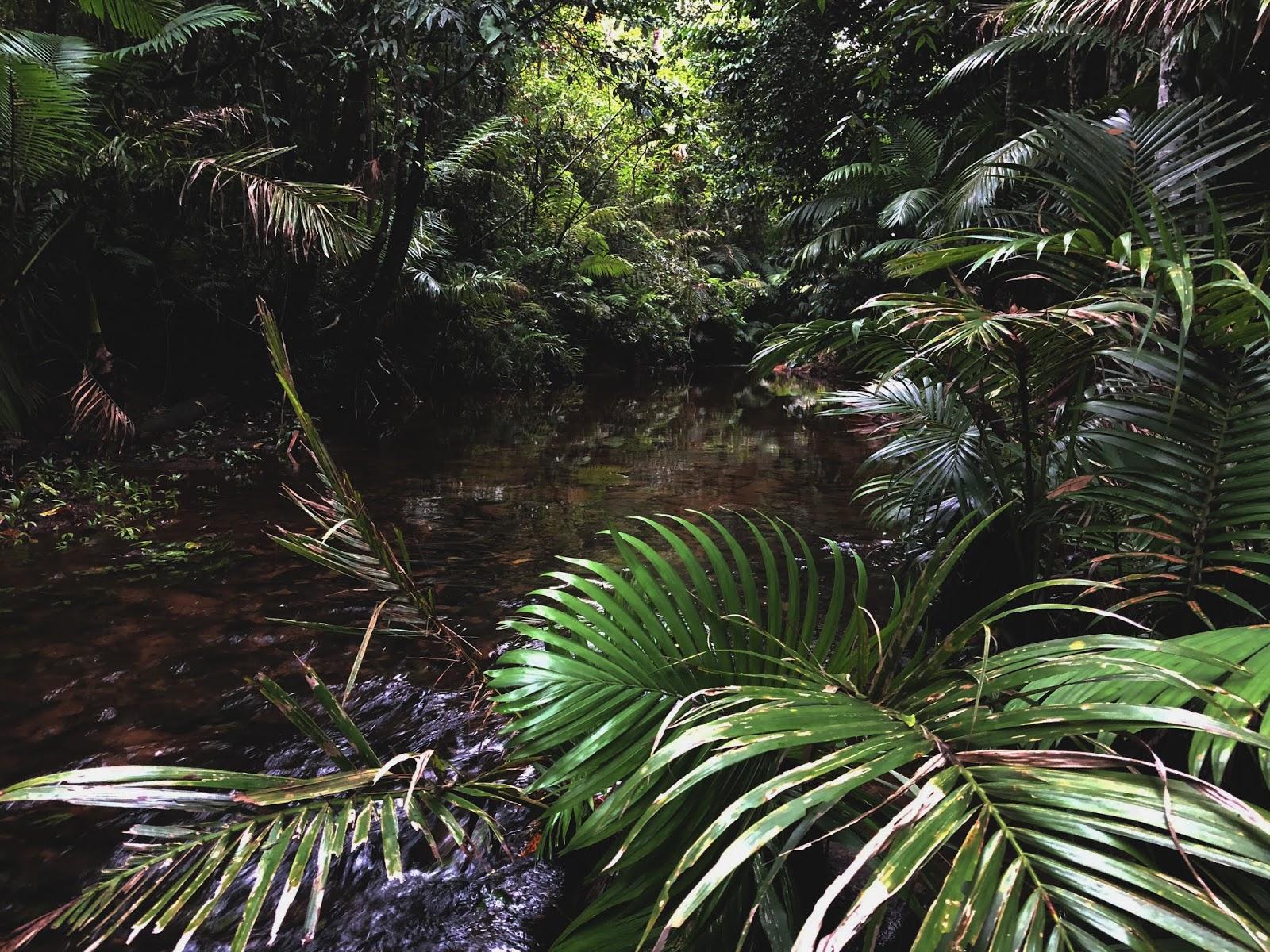 Las deszczowy w australijskim miasteczku Mission Beach. Mała rzeka przepływa przez środek dżungli.