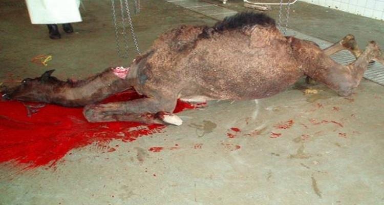 لماذا لحم الإبل ينقض الوضوء و لماذا أمرنا الرسول بالوضوء بعد أكله