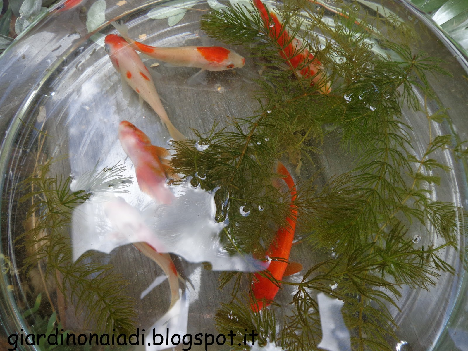 Il giardino delle naiadi carassius auratus pesce rosso for Pesci rossi laghetto