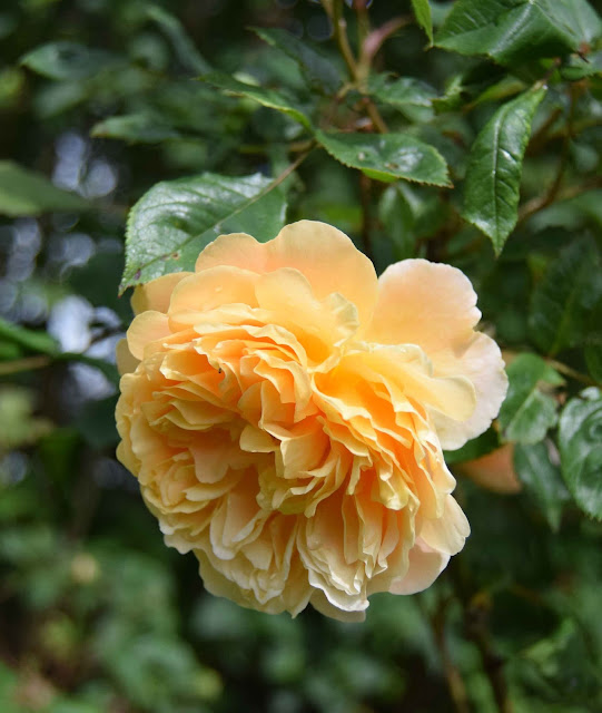Crown Princess Margaretha - Austin