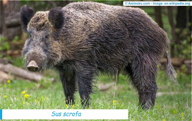Fakta unik babi hutan