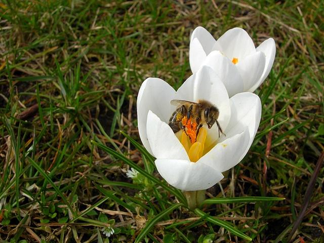 pszczoła, owad, zapylanie, kwiaty, wiosna