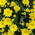 Mooie achtergrond met gele bloemen