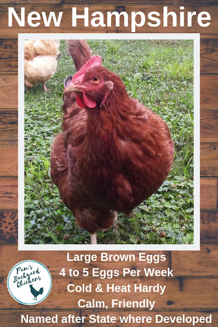 The New Hampshire chicken is a great family-friendly bird that's named for the state where it was developed. This is a good dual-purpose bird that matures early and consistently lays brown eggs.