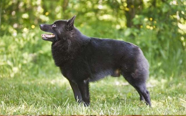 Giống chó Schipperke