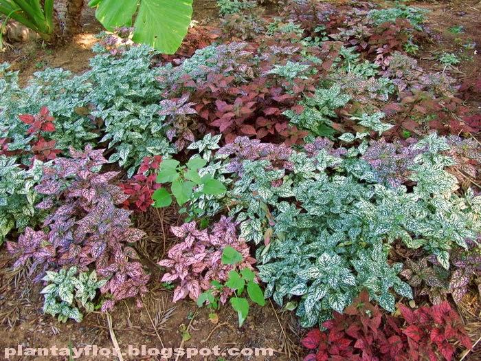 Plantas y flores: Hypoestes sanguinolenta