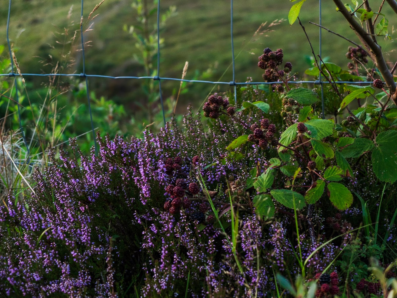 Purple heather growing with a fruiting blackberry bush.