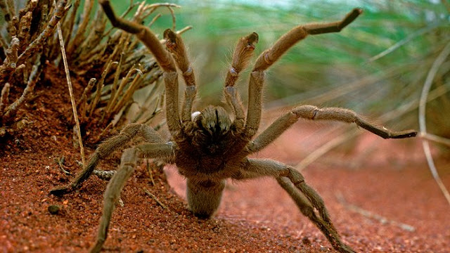Faced with Drowning, This Giant Tarantula Goes Out on a Limb