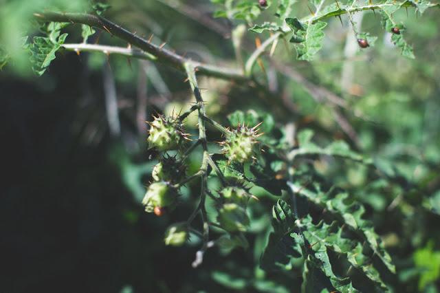 litchi tomato thorns