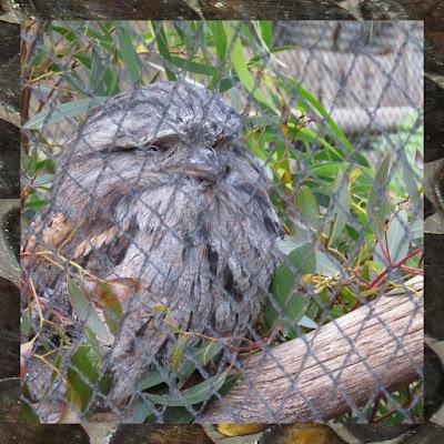Bonorong Wildlife Park - Tawny Frogmouth