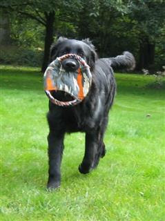 black hovawart playing with a Frisbee