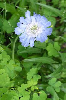 Scabieuse du Caucase hybride - Scabiosa caucasica 'Isaac House Hybrids'