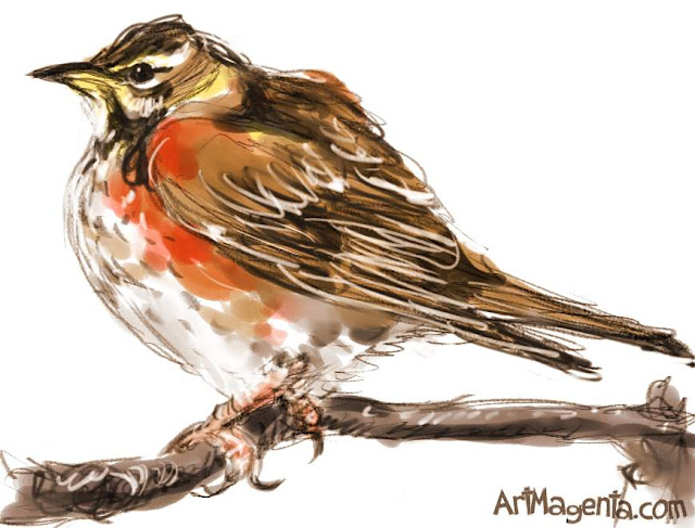Redwing  sketch painting. Bird art drawing by illustrator Artmagenta.